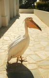美丽的桃红色鹈鹕鸟 库存照片