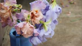 美丽的桃红色,紫罗兰色和蓝色虹膜开花绽放 花束在室外蓝色庭院的喷壶 关闭 股票录像