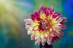 美丽的桃红色,红色和黄色大丽花花特写镜头 免版税库存照片
