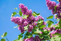 美丽的桃红色,紫色和紫罗兰色丁香开花开花特写镜头 免版税库存照片