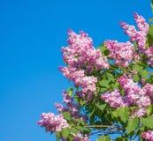 美丽的桃红色,紫色和紫罗兰色丁香开花开花特写镜头 免版税图库摄影