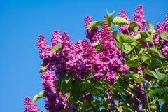 美丽的桃红色,紫色和紫罗兰色丁香开花开花特写镜头 图库摄影