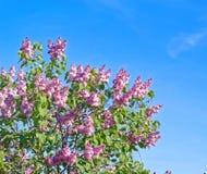 美丽的桃红色,紫色和紫罗兰色丁香开花开花特写镜头 免版税库存图片