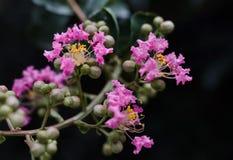 美丽的桃红色绉绸桃金娘花树 库存照片