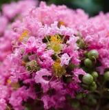 美丽的桃红色绉绸桃金娘花树 库存图片