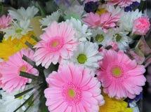 美丽的桃红色&白色大丁草花花束 库存图片