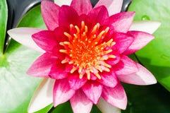 美丽的桃红色水百合或莲花在池塘 库存图片