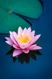 美丽的桃红色水百合或莲花在池塘 库存照片