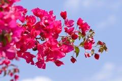 美丽的桃红色洋红色九重葛花和蓝天 免版税库存图片
