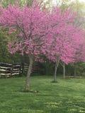 美丽的桃红色/紫色树 库存照片