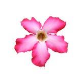 美丽的桃红色adenium沙漠上升了 免版税库存图片