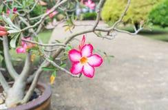 美丽的桃红色Adenium花,桃红色花在庭院里 图库摄影