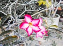 美丽的桃红色Adenium花,桃红色花在庭院里 免版税库存照片