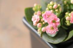 美丽的桃红色Kalanchoe或发火焰浅田花 库存照片