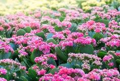 美丽的桃红色Kalanchoe花在庭院里 图库摄影