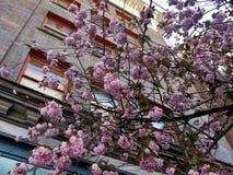 美丽的桃红色Kanzan佐仓樱花在温哥华,加拿大开花 库存图片