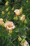 美丽的桃红色lisianthus花自现代温室 图库摄影