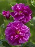 美丽的桃红色rugosa上升了 免版税库存照片