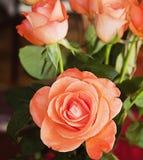 美丽的桔子在充分的开花上升了 免版税库存照片