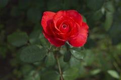 美丽的桔子在庭院,明亮的颜色,夏天里上升了,花 免版税库存图片