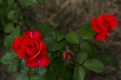 美丽的桔子在庭院,明亮的颜色,夏天里上升了,花 图库摄影