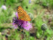 美丽的桔子察觉了在紫罗兰色花的蝴蝶,立陶宛 免版税库存图片
