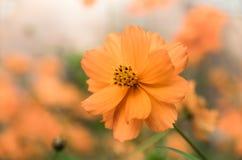 美丽的桔子开花sulphureus 免版税库存照片