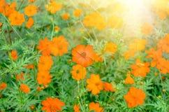 美丽的桔子开花sulphureus 库存照片