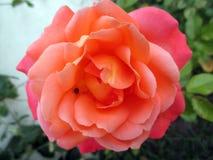 美丽的桔子玫瑰在春天庭院开了花 免版税库存照片