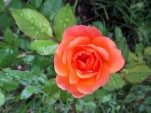 美丽的桔子玫瑰在雨以后开了花 库存照片
