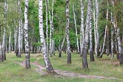 美丽的桦树在早期的秋天 免版税库存图片