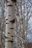 美丽的桦树树干在早期的春天 免版税库存图片