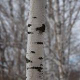 美丽的桦树树干在树被弄脏的背景的早期的春天  免版税库存照片