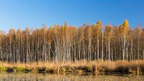 美丽的桦树森林全景和池塘在秋天晒干 库存照片
