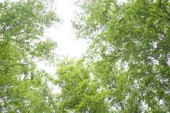 美丽的桦树森林在夏天 免版税图库摄影
