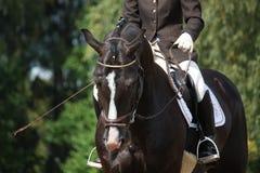 美丽的棕色体育马画象 免版税库存图片
