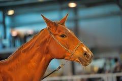 美丽的棕色公马画象 免版税库存图片