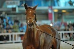 美丽的棕色公马画象 免版税库存照片