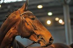 美丽的棕色公马画象 库存图片