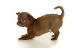 美丽的棕色奇瓦瓦狗小狗 免版税库存图片