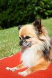 美丽的棕色奇瓦瓦狗 免版税库存图片