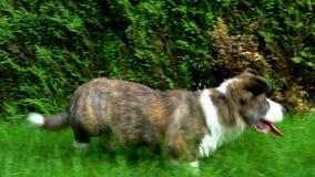 美丽的棕色幼小小狗狗走在绿草的,慢动作 影视素材