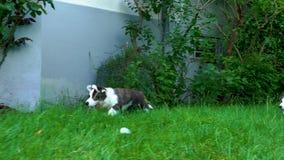 美丽的棕色幼小小狗狗走在绿草的,慢动作 股票视频