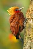 美丽的棕色形式热带山森林栗子色啄木鸟, Celeus castaneus,与红脸的肌力鸟从肋前缘R 库存照片
