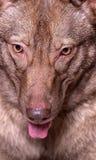 美丽的棕色杂种狗 库存图片
