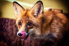 美丽的棕色狐狸 库存图片