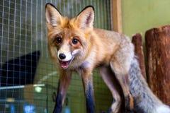 美丽的棕色狐狸 免版税图库摄影