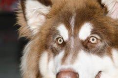 美丽的棕色狗注视光亮的光 免版税库存照片