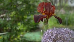 美丽的棕色虹膜花在夏天开了花在装饰庭院里