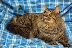 美丽的棕色西伯利亚猫在蓝色说谎 免版税库存图片